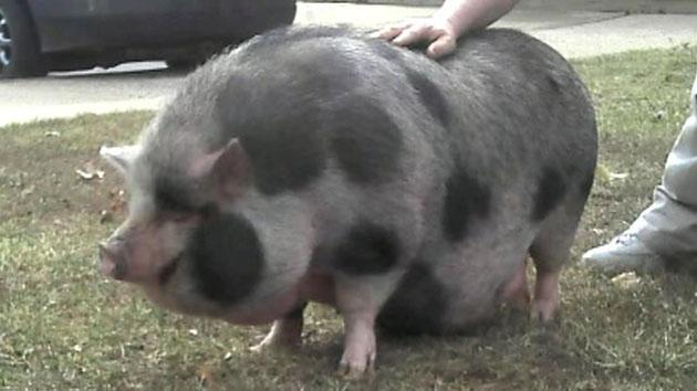 Penelope the pig, post adventure (FOX News Videos)
