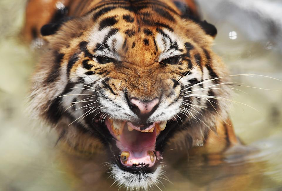 Two men were mauled to death by a tiger duo while another survived in Uttar Pradesh, India (AFP via Getty Images)