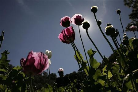 Poppy plants used to make heroin are seen at a clandestine plantation during a military operation in Sierra de Culiacan in the state of Sinaloa