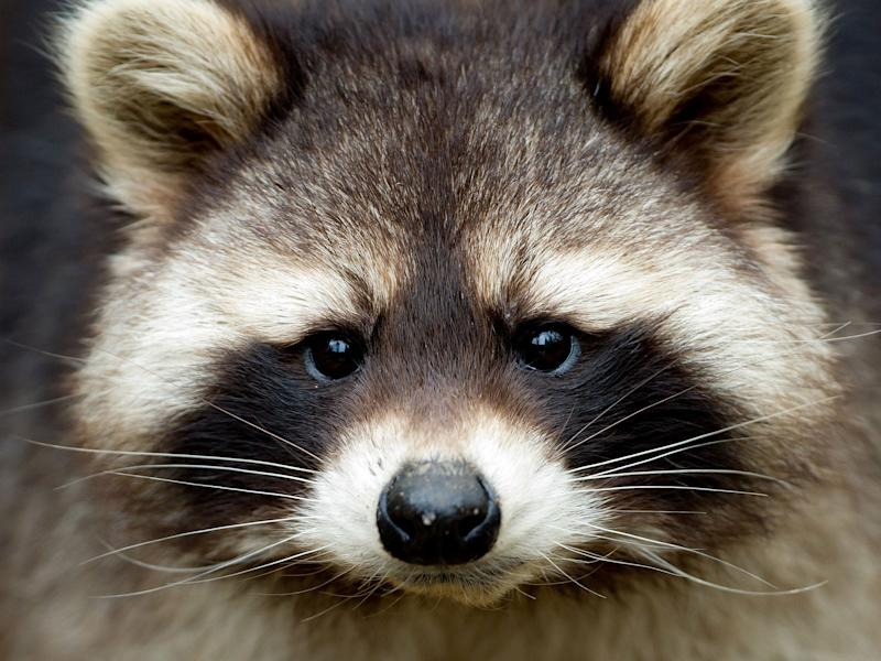 A gang of mischievous raccoons caused chaos when they 'attacked' members of the media at the White House. (iStock)