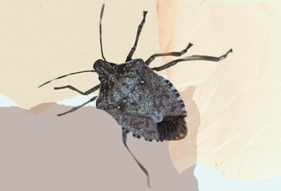 Meet the invasive species trying to get in your home this fall