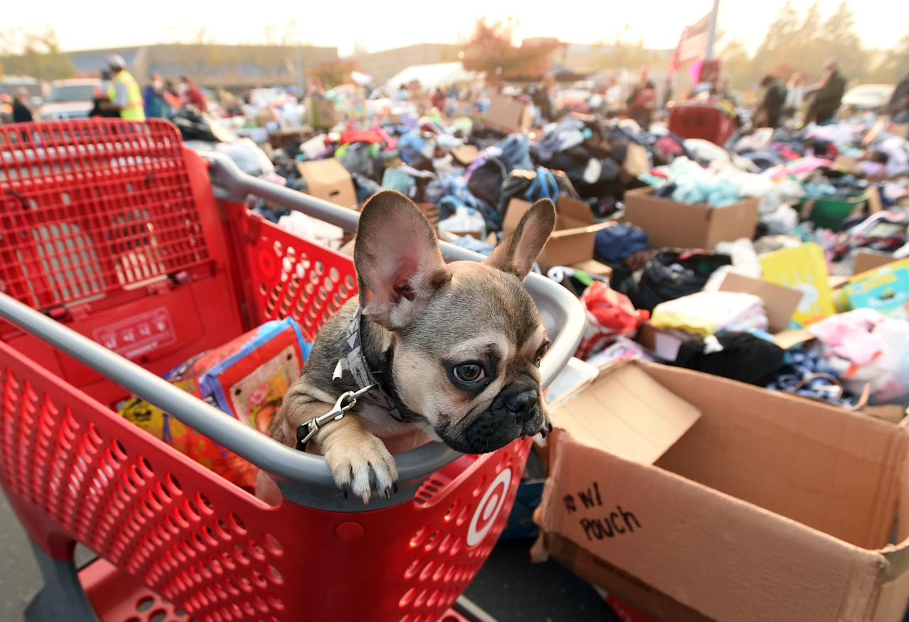 <p>Diesel, a French bulldog puppy, looks on from a shopping cart at an evacuee encampment in Chico, Calif., on Nov. 17, 2018. (Photo: Josh Edelson/AFP/Getty Images) </p>