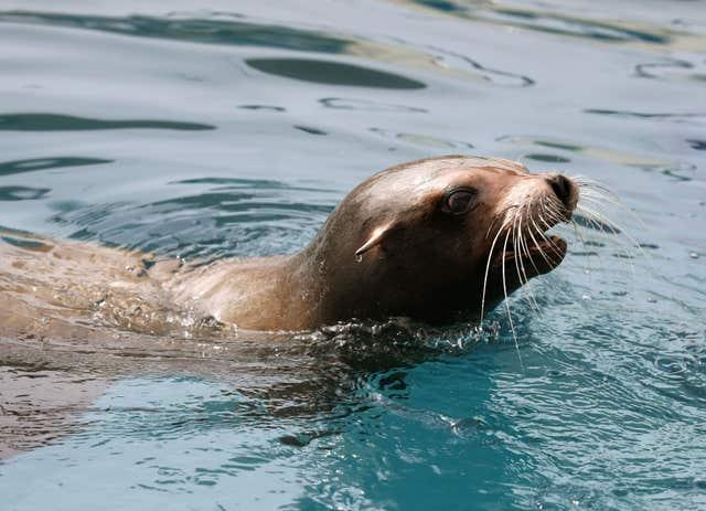 Sea Lion operation at Blair Drummond Safari park