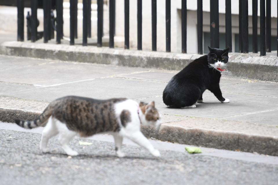 Chief Mouser for the Foreign Office Palmerston watches Larry the Downing Cat walk by in Downing Street, London.