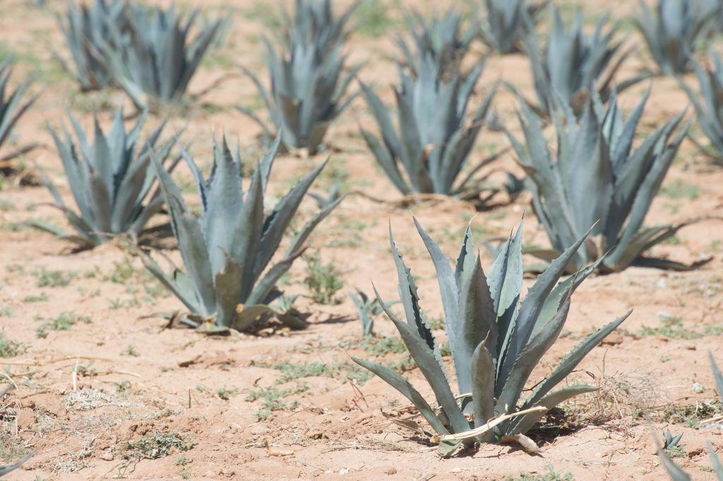 """<p>In Mexico, nectar from the Agave plant is mixed with oatmeal or cooked rice and turned into a face scrub to tap into the plant's moisturizing properties, which they believe will """"help with anti-aging and healing wounds,"""" says Flor. <br></p><p><a class=""""body-btn-link"""" href=""""https://go.redirectingat.com?id=74968X1596630&url=https%3A%2F%2Fwww.sephora.com%2Fproduct%2Fagave-sugar-lip-scrub-P415980&sref=http%3A%2F%2Fwww.oprahmag.com%2Fbeauty%2Fg23454091%2Fbeauty-secrets-around-the-world%2F"""" target=""""_blank"""">Shop Now</a></p>"""