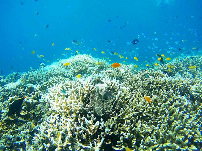 The once brightly hued coral has turned a pale grey due to coral bleaching caused by high temperatures (Getty Images)