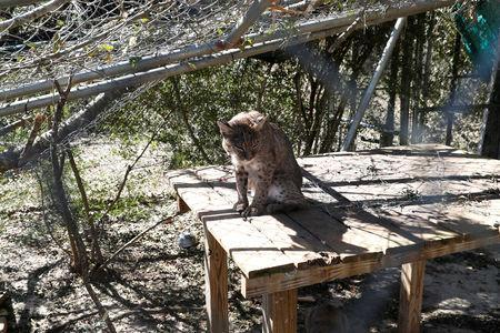 FILE PHOTO: A bobcat sits in a cage damaged by Hurricane Michael at the Bear Creek Feline Center in Panama City, Florida, U.S., October 12, 2018. REUTERS/Terray Sylvester/File Photo