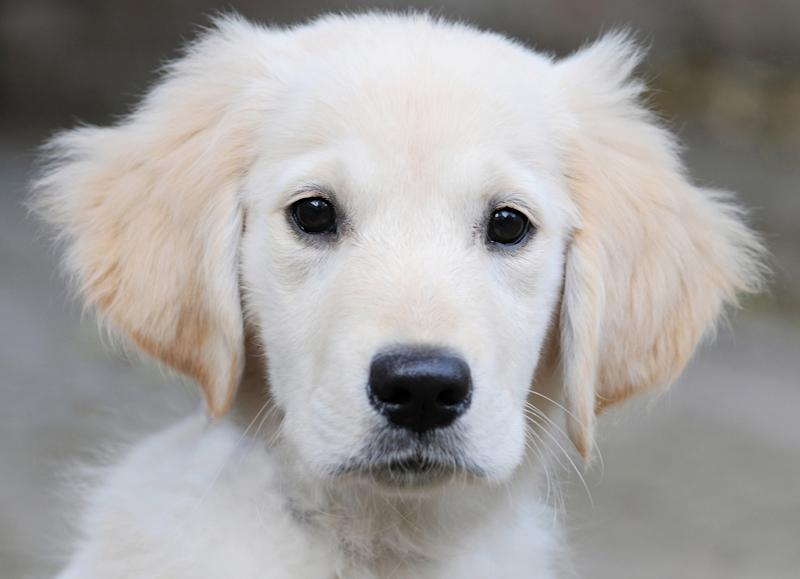 Golden Retriever Puppy. (Photo by: Marc Chapeaux/AGF/Universal Images Group via Getty Images)