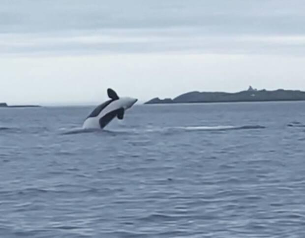 Yvonne and Darryl Pevie spotted a pod of orcas near Bonavista last weekend. (Submitted by Yvonne Pevie - image credit)