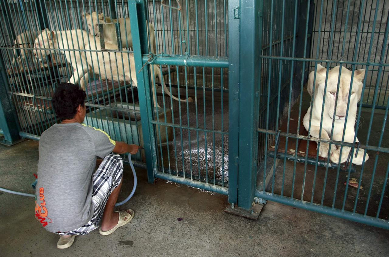 A Thai man spays water to clean the lion's enclosure after a raid at a zoo-like house on the outskirts of Bangkok, Thailand Monday, June 10, 2013. Thai police and forestry officials searched and seized a number of imported and endangered animals including 14 lions from Africa and arrested the house's owner. (AP Photo/Apichart Weerawong)