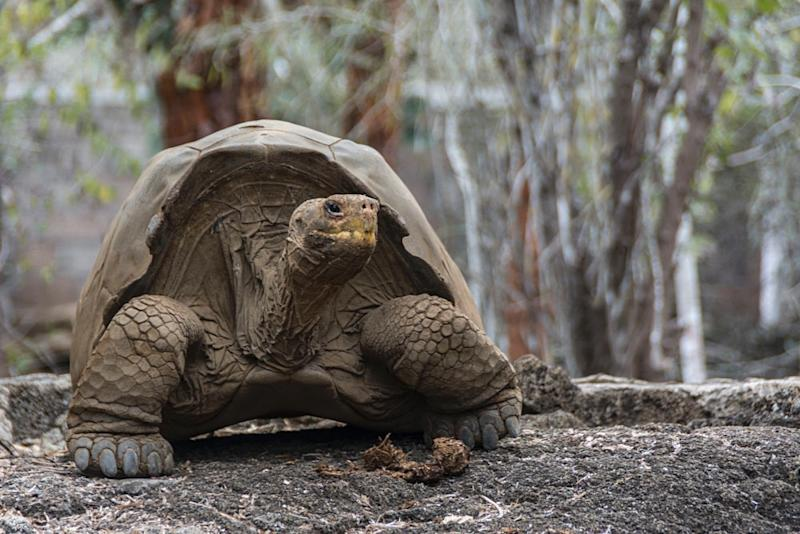 Scientists hope a new breeding program involving 32 Galapagos giant tortoises will repopulate Floreana Island