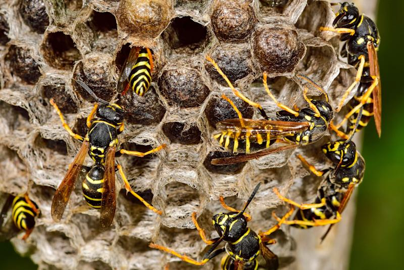 Evie Clark, 7, survived being stung 300 times by European wasps. Source: Getty Images