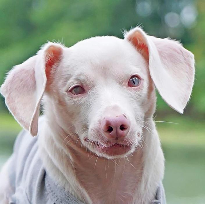 the adorable pink, blind pup, Piglet the Dog, poses for a head shot