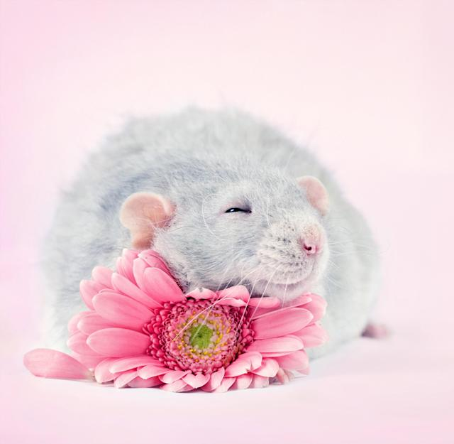 """<p>The 32-year-old photographer, who lives in Montreal, shot her """"Fancy Rats"""" series over a number of years. (Diane Ozdamar/Caters News) </p>"""