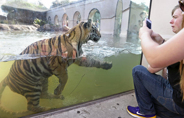"""A petition is urging LSU to stop holding captive <a class=""""link rapid-noclick-resp"""" href=""""/mlb/teams/det"""" data-ylk=""""slk:Tigers"""">Tigers</a> as mascots, a practice the school has maintained since 1936. (AP)"""
