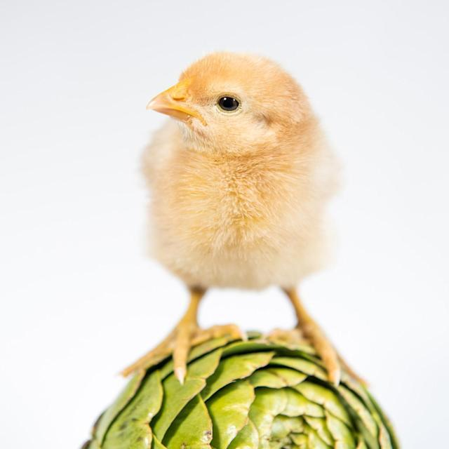 <p>A chick stands atop of an artichoke. (Photos: Alexandra C. Daley-Clark/sillychickens.com) </p>