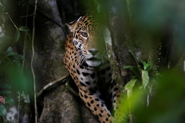<p>A female adult jaguar sits atop a tree at the Mamiraua Sustainable Development Reserve in Uarini, Amazonas state, Brazil, June 5, 2017. (Photo: Bruno Kelly/Reuters) </p>