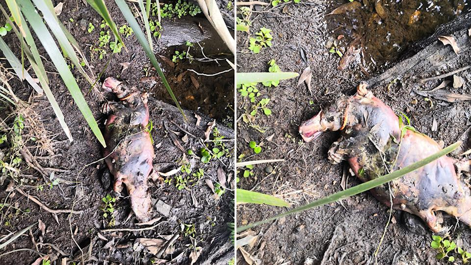 Two photos of the dead platypus with what appears to be an orange hair tie around its neck.