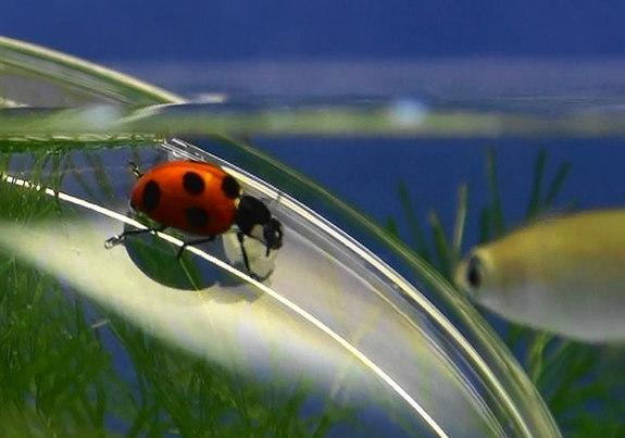 Beetles' Sticky Feet Lay Groundwork for Undersea Robots