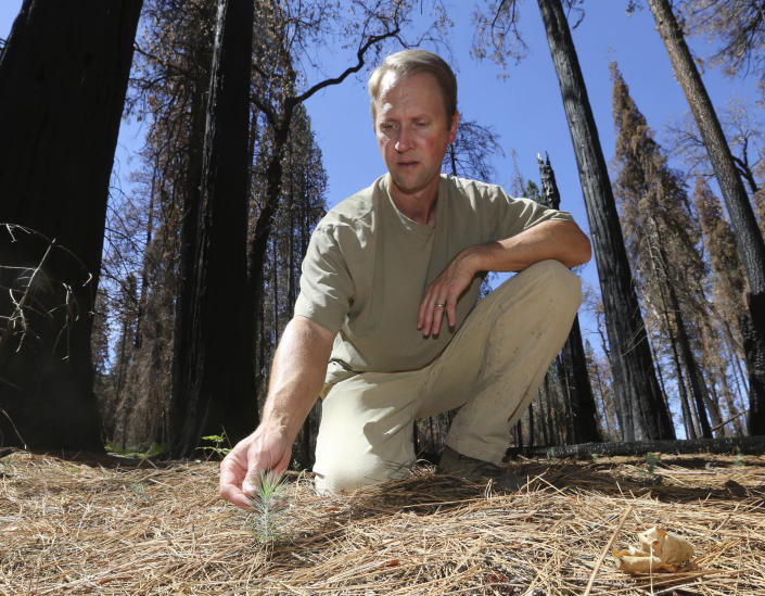 FILE - In this July 25, 2014 file photo, Chad Hanson, of the John Muir Project, inspects a young Ponderosa Pine tree growing in an area destroyed by 2013's Rim Fire, near Groveland, Calif. Each year thousands of acres of dense timber are thinned near remote communities, all designed to slow the spread of massive wildfires. While most scientific studies find such forest management is a valuable tool, environmental advocates say data from recent gigantic wildfires support their long-running assertion that efforts to slow wildfires have instead accelerated their spread. (AP Photo/Rich Pedroncelli, File)