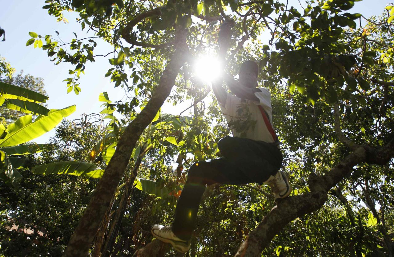 """John Kalunge Nguthari, a farmer, climbs a khat tree at his plantation in Maua near Meru eastern Kenya August 20, 2014. Grown on plantations in the highlands of Kenya and Ethiopia, tonnes of khat, or qat, dubbed """"the flower of paradise"""" by its users, are flown daily into Mogadishu airport, to be distributed from there in convoys of lorries to markets across Somalia. Britain, whose large ethnic Somali community sustained a lucrative demand for the leaves, banned khat from July as an illegal drug. This prohibition jolted the khat market, creating a supply glut in Somalia and pushing down prices, to the delight of the many connoisseurs of its amphetamine-like high. Picture taken August 20, 2014. REUTERS/Thomas Mukoya (KENYA - Tags: SOCIETY BUSINESS CRIME LAW DRUGS)  ATTENTION EDITORS: PICTURE 01 OF 16 FOR WIDER IMAGE PACKAGE 'KHAT - SOMALIA'S PARADISE FLOWER'  TO FIND ALL IMAGES SEARCH 'KHAT OMAR'"""