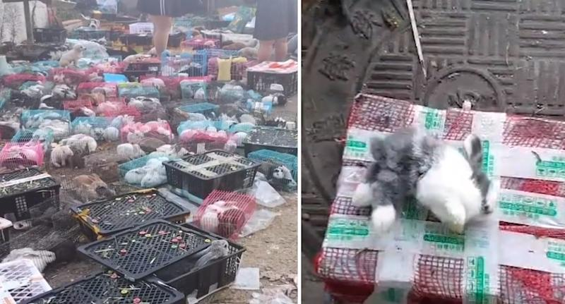 More than 800 rabbits were rescued however many died inside the boxes. Source: Hongxing News