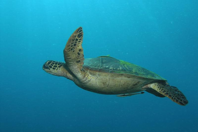 A sea turtle swimming in the ocean (Picture: PA)