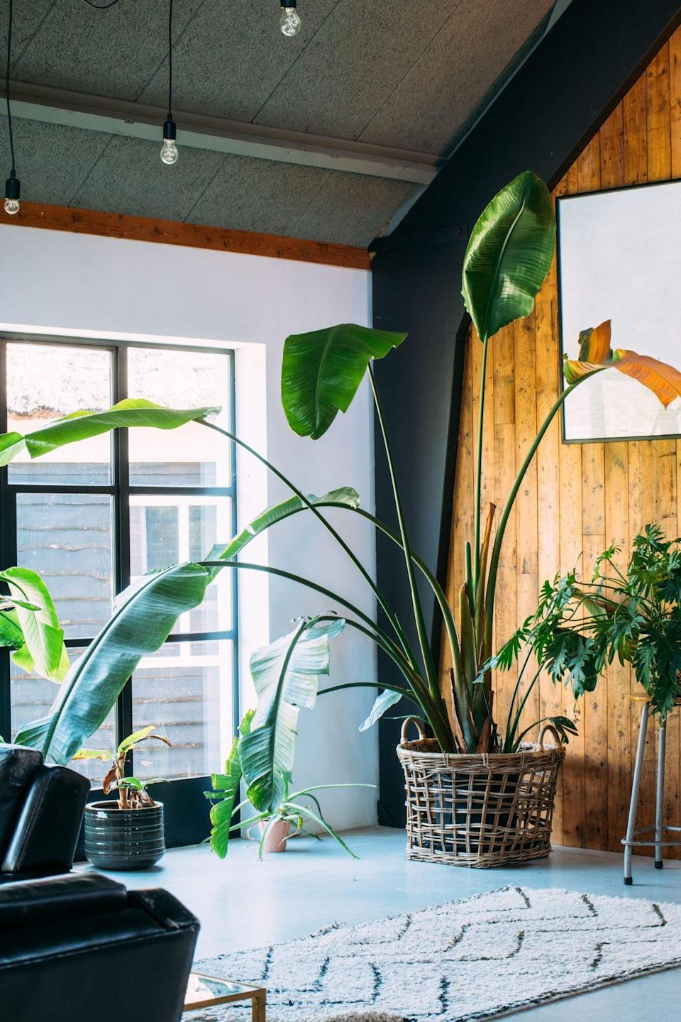 Bird of Paradise Plant in Living Room