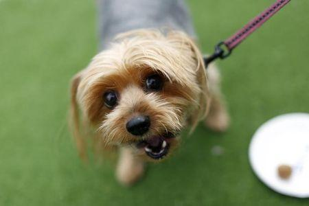 Chloe, a nine-year-old Yorkshire Terrier, looks into the camera after tasting a dog treat sample at Milo's Kitchen Treat Truck in San Francisco
