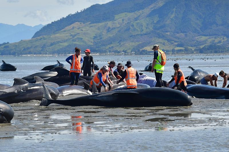 Volunteers pour water on pilot whales during a mass stranding at Farewell Spit, on February 11, 2017 (AFP Photo/Marty MELVILLE)