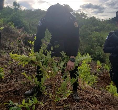 An agent of the Guatemalan National Civil Police (PNC) destroys coca plants during an operation to dismantle a coca processing lab in Izabal