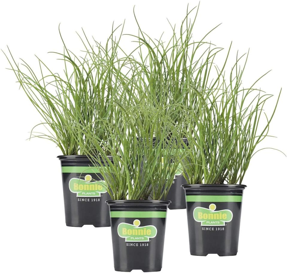 <p><span>Chive Plant</span> ($21 for 4)</p>