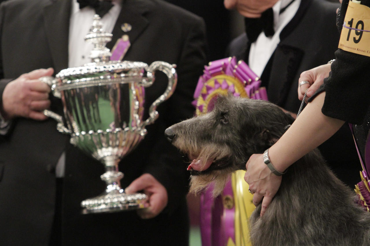 Scottish deerhound Hickory poses for photographs near the trophy after winning best in show during the 135th Westminster Kennel Club Dog Show Tuesday, Feb. 15, 2011, at Madison Square Garden in New York.