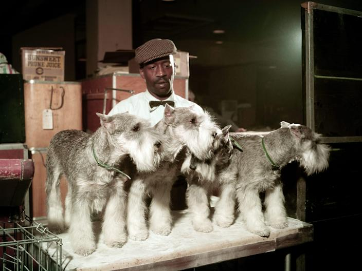 A line of schnauzers at the 1957 Westminster dog show.