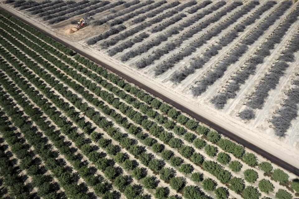 A field of dead almond trees is seen next to a field of growing almond trees in Coalinga in the Central Valley, California, United States May 6, 2015. Almonds, a major component of farming in California, use up some 10 percent of the state's water reserves according to some estimates. California ranks as the top farm state by annual value of agricultural products, most of which are produced in the Central Valley, the vast, fertile region stretching 450 miles (720 km) north-sound from Redding to Bakersfield. California water regulators on Tuesday adopted the state's first rules for mandatory cutbacks in urban water use as the region's catastrophic drought enters its fourth year. Urban users will be hardest hit, even though they account for only 20 percent of state water consumption, while the state's massive agricultural sector, which the Public Policy Institute of California says uses 80 percent of human-related consumption, has been exempted. REUTERS/Lucy Nicholson