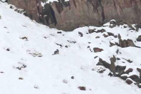Mike Unwin's long-distance photo of the snow leopard - Credit: Mike Unwin