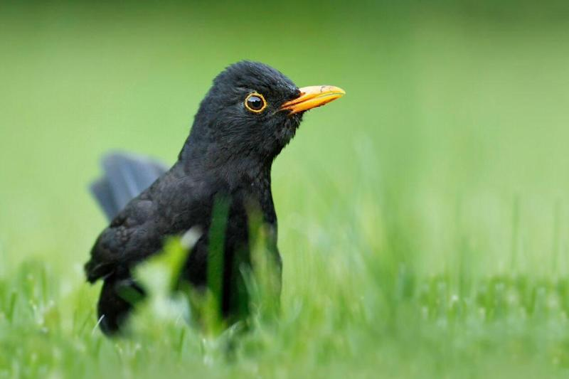 Blackbirds, typically a woodland bird, are adapting to city life: Jon Hawkins / Surrey Hills Photography
