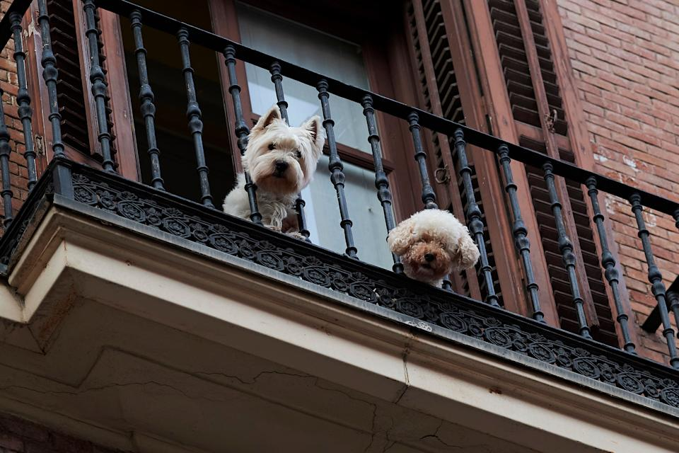 Dos perros asomados al balcón durante el confinamiento en Madrid. (Photo: Carlos Alvarez via Getty Images)