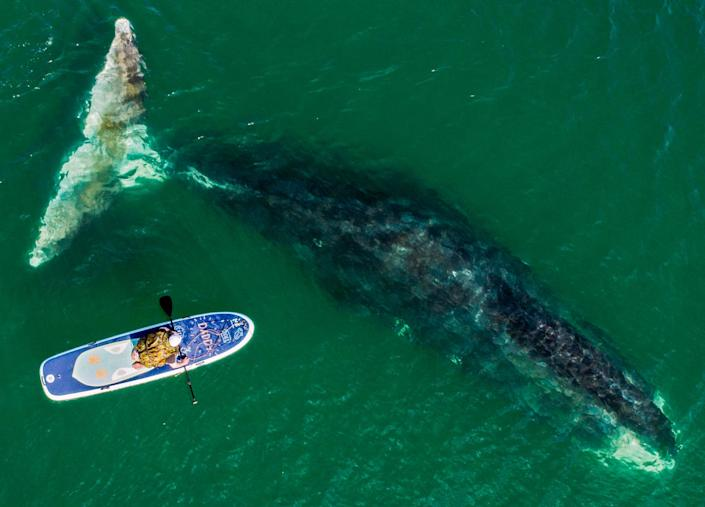 """<span class=""""caption"""">A bowhead whale and a surfer in Vrangel Bay. Bowhead whales, also known as Greenland right whales, can weigh from 75 to 100 tonnes.</span> <span class=""""attribution""""><a class=""""link rapid-noclick-resp"""" href=""""https://www.gettyimages.com/detail/news-photo/bowhead-whale-and-a-sup-surfer-in-the-vrangel-bay-50km-of-news-photo/1019871652?adppopup=true"""" rel=""""nofollow noopener"""" target=""""_blank"""" data-ylk=""""slk:Yuri Smityuk\TASS via Getty Images"""">Yuri Smityuk\TASS via Getty Images</a></span>"""