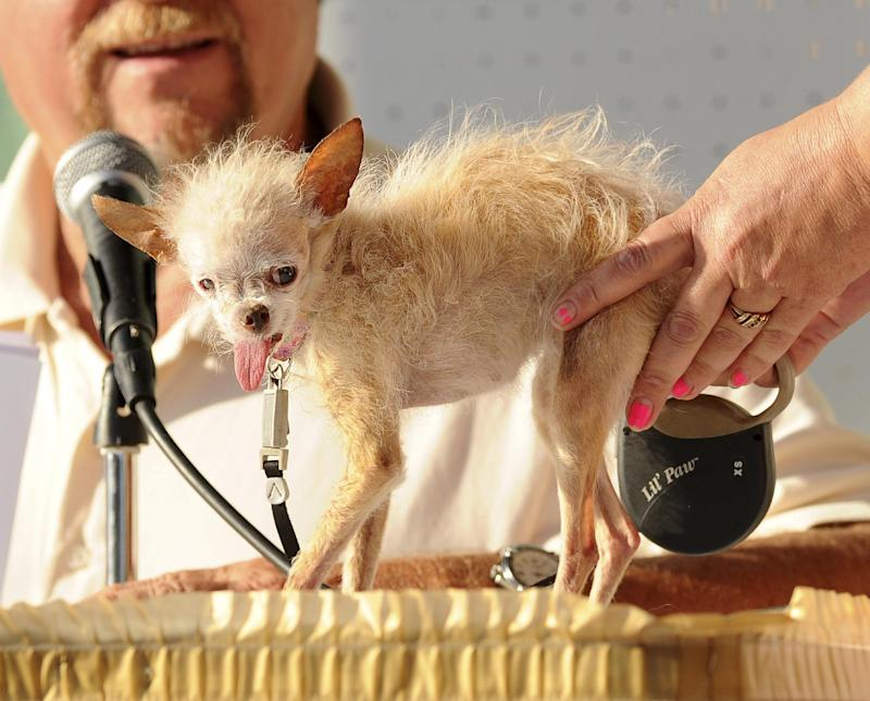 FILE - In this June 24, 2011 file photo, a judge evaluates Yoda during the 2011 World's Ugliest Dog Contest in Petaluma, Calif. The 14-year-old Chinese Crested and Chihuahua mix took top honors winning $1000 and a plethora of pet perks at the Sonoma-Marin Fair. The 1.8-pound female Chinese crested-Chihuahua mix owned by Terry Schumacher of Hanford, died in her sleep Saturday, March 10, 2012.  She was 15. (AP Photo/Noah Berger, file)