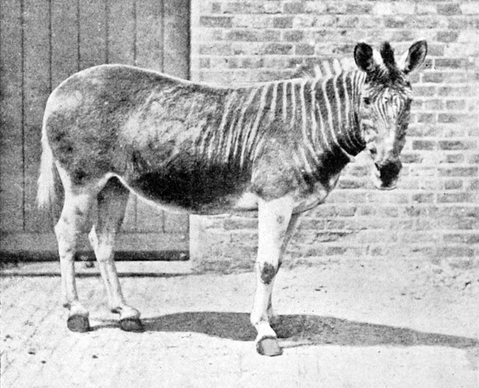 "<p>The Quagga was native to South Africa and went extinct in the late 19th century. For a long time, the quagga was thought to be its own species before it was discovered that it was closely related to the Plains Zebra and was, in fact, a subspecies of the zebra.</p><p>Quagga's were interesting in appearance quite literally looking the mashup between two animals—a zebra in the front thanks to the famous zebra stripes adorning this part of its body, and a horse in the rear due to the lack of stripes in this area.</p><p>Scientists are trying to resurrect the quagga and have seen some success via <a href=""https://www.cnn.com/2016/01/25/africa/quagga-project-zebra-conservation-extinct-south-africa/index.html"" rel=""nofollow noopener"" target=""_blank"" data-ylk=""slk:reverse engineering by selectively breeding zebras"" class=""link rapid-noclick-resp"">reverse engineering by selectively breeding zebras</a> (who carry quagga genes).</p><p><strong>Cause of Extinction:</strong> humans hunted the quagga to extinction.</p>"