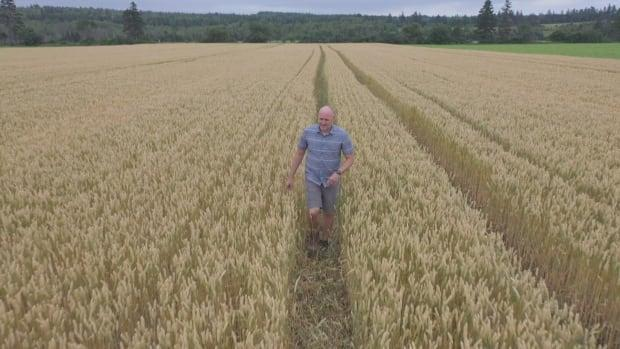 Aaron Mills walks through one of the barley fields at the Harrington Research Station.  (Shane Hennessey/CBC - image credit)