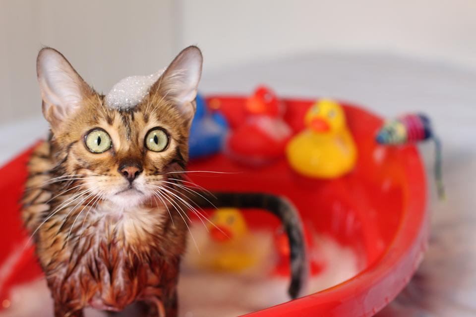 Funny cat taking a bath.