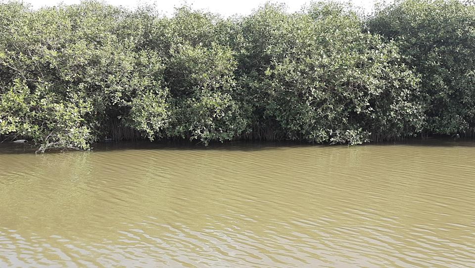 """<div class=""""paragraphs""""><p>The mangroves are the are the lungs of the Kosasthlaiyar river.</p></div>"""