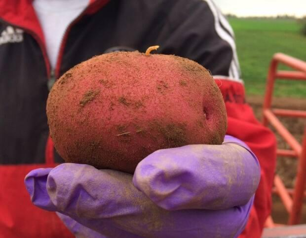 Ryan Barrett calls wireworm one of the largest yield-robbing pests for potato growers on P.E.I.