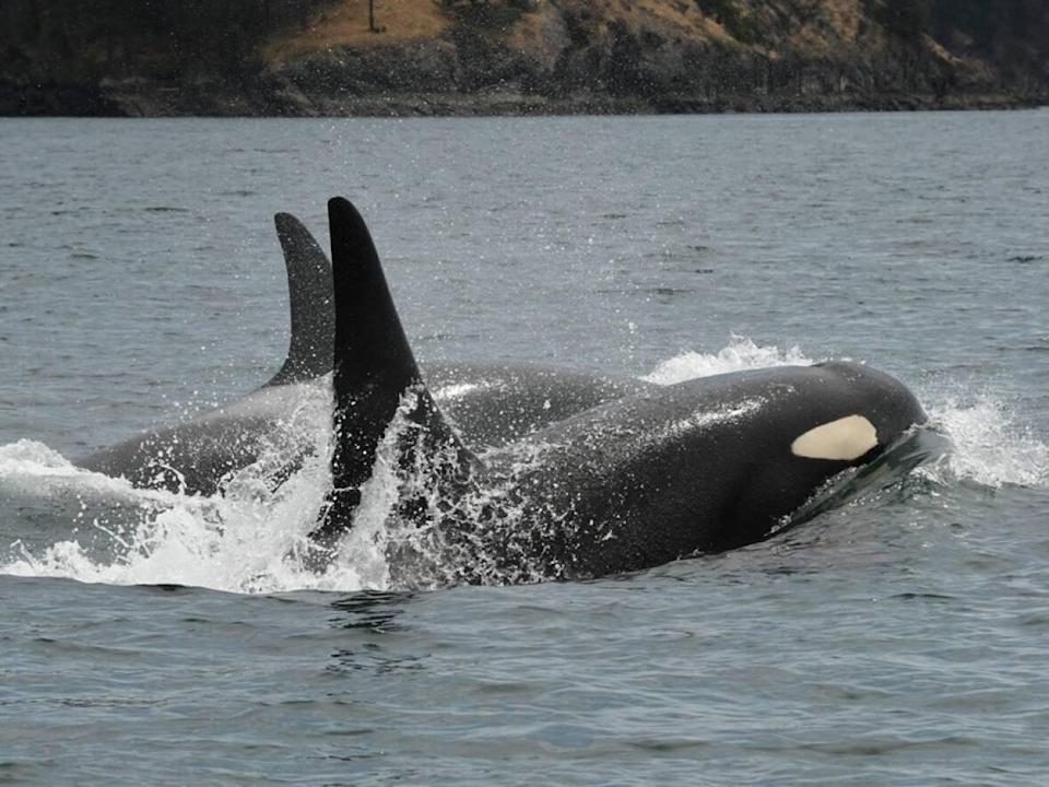 Southern resident killer whales K16 and K35 are seen in Haro Strait between Vancouver Island and the San Juan Islands in British Columbia on July 6, 2019. A recent University of British Columbia study of fish stocks in summer feeding grounds suggests the endangered orcas do have enough chinook salmon to eat.  (Center for Whale Research - image credit)