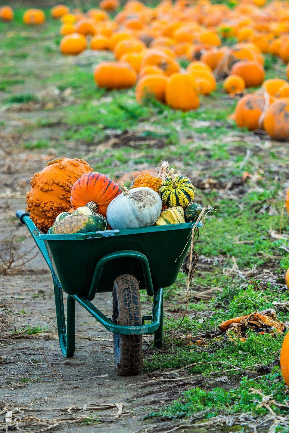 """<p>Each year, <a href=""""https://www.thepumpkinpatch.com/"""" rel=""""nofollow noopener"""" target=""""_blank"""" data-ylk=""""slk:the Pumpkin Patch"""" class=""""link rapid-noclick-resp"""">the Pumpkin Patch</a> reveals a new and <a href=""""https://www.countryliving.com/life/travel/g22717241/corn-maze-near-me/"""" rel=""""nofollow noopener"""" target=""""_blank"""" data-ylk=""""slk:elaborate corn maze"""" class=""""link rapid-noclick-resp"""">elaborate corn maze</a>. With more than 1 million pounds of pumpkins grown there and free hayrides offered daily, we have a feeling your family will want to make visiting this iconic <a href=""""https://go.redirectingat.com?id=74968X1596630&url=https%3A%2F%2Fwww.tripadvisor.com%2FAttraction_Review-g52024-d562041-Reviews-Sauvie_Island_Wildlife_Area-Portland_Oregon.html&sref=https%3A%2F%2Fwww.countryliving.com%2Flife%2Ftravel%2Fg21273436%2Fpumpkin-farms-near-me%2F"""" rel=""""nofollow noopener"""" target=""""_blank"""" data-ylk=""""slk:Sauvie Island"""" class=""""link rapid-noclick-resp"""">Sauvie Island</a> establishment a yearly tradition.</p><p><a class=""""link rapid-noclick-resp"""" href=""""https://go.redirectingat.com?id=74968X1596630&url=https%3A%2F%2Fwww.tripadvisor.com%2FAttractions-g52024-Activities-Portland_Oregon.html&sref=https%3A%2F%2Fwww.countryliving.com%2Flife%2Ftravel%2Fg21273436%2Fpumpkin-farms-near-me%2F"""" rel=""""nofollow noopener"""" target=""""_blank"""" data-ylk=""""slk:PLAN YOUR TRIP"""">PLAN YOUR TRIP</a></p>"""