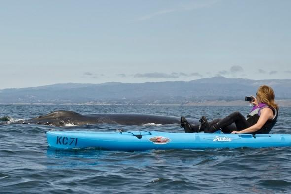 Kayaker has VERY close encounter with 80,000lb humpback whale