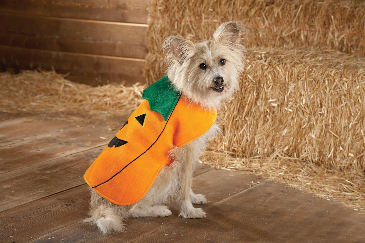 This product image courtesy of PetSmart shows the Top Paw Pumpkin Costume. Pet owners will dress up millions of dogs this month for Halloween parades, parties, pictures, contests or candy hunts. (AP Photo/PetSmart)