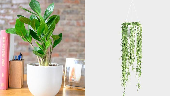 Best 30th birthday gift ideas: ZZ Plant and String of Pearl Artificial Hanging Plant